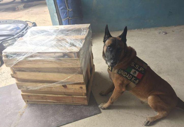 Yucatán cuenta con perros entrenados especialmente -que incluso reciben atención psicológica- para el rescate de víctimas de desastres naturales, como los huracanes. La imagen no corresponde a alguno de ellos: es Dylan, un can que fue entrado por la policía de Yucatán para búsqueda de narcóticos. (Archivo/SIPSE)