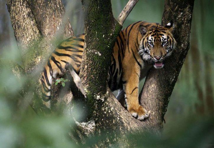 En promedio, de 5 a 10 tigres de Sumatra han sido muertos anualmente desde 1998, según el reporte del Ministerio de Ciencia Forestal. (Agencias)