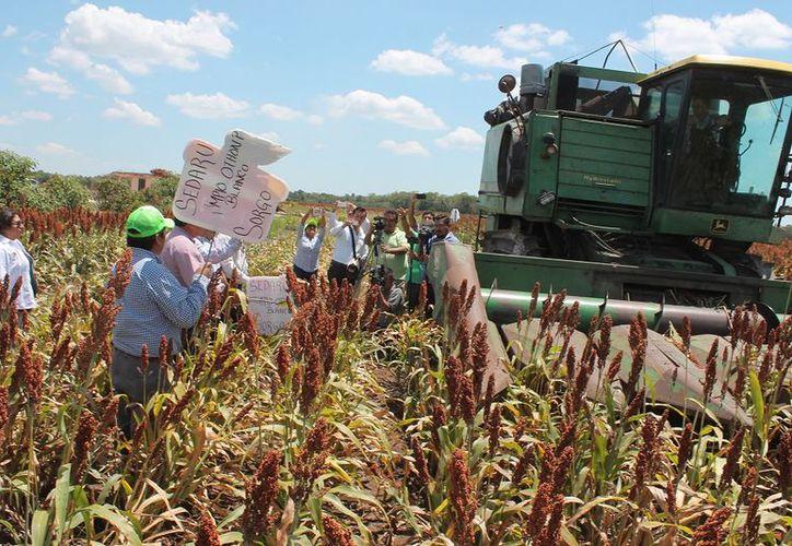Los campesinos experimentaron con semillas mejoradas y certificadas, para ver cual deja mayores rendimientos.