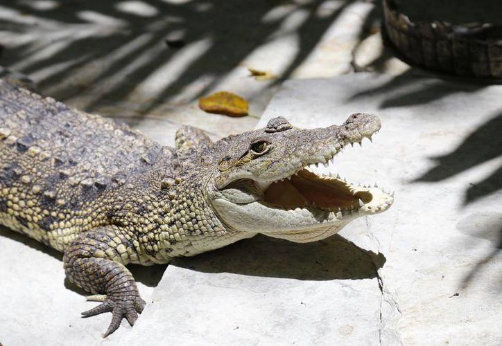La Conabio y la Semarnat contemplan la posibilidad de criar cocodrilos, de los cuales algunos serían comercializados. (Luis Soto/SIPSE)