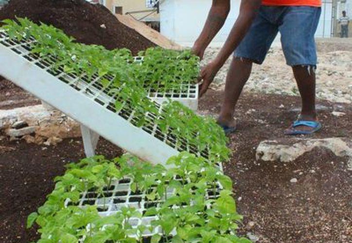 Los internos de la cárcel de Playa del Carmen participan en el cultivo de hortalizas dentro del reclusorio. (Daniel Pacheco/SIPSE)