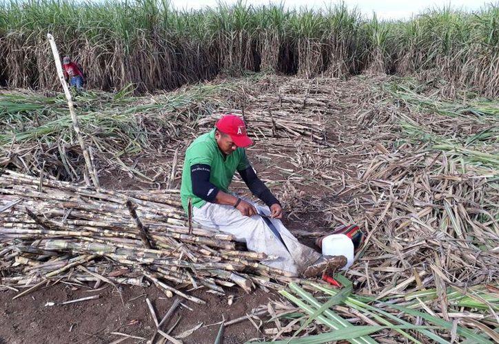 Afilan los machetes por ambos lados, para empezar a cortar la caña cruda para las primeras moliendas del Ingenio San Rafael de Pucté. (Carlos Castillo/SIPSE)