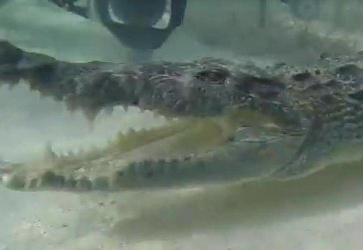 Los buzos tomaron fotografías y video del encuentro con los reptiles. (Redacción/SIPSE)
