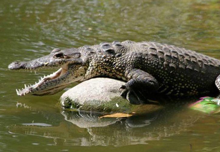 Imagen de contexto de un cocodrilo moreletti, especie a la que pertenecen los 10 ejemplares decomisados en Mérida. (mexicocnn.com)
