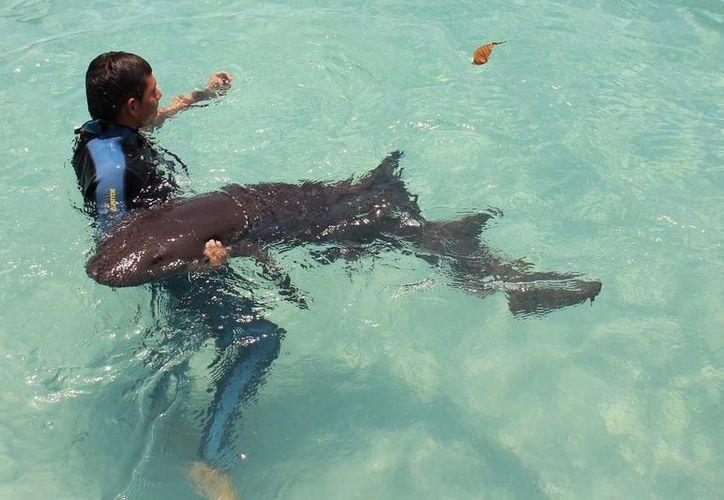 Un tiburón gato le provocó una herida abdominal a un turista.   (Redacción/SIPSE)