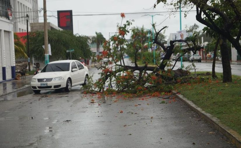 Algunos árboles se cayeron como parte de los estragos que provocaron las lluvias en Chetumal. (Ángel Castilla/SIPSE)