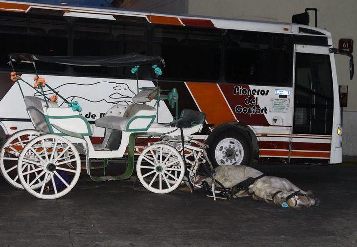 El accidente mortal ocurrió en la calle 61 x 50 luego de que un caballo de calesa recorriera desbocado varias calles del Centro de Mérida. (Martín González/Sipse)