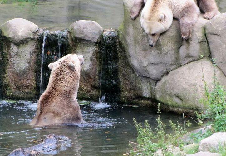 'Taps' y su hermana 'Tips' en su complejo del zoológico. (polarbearsusa)