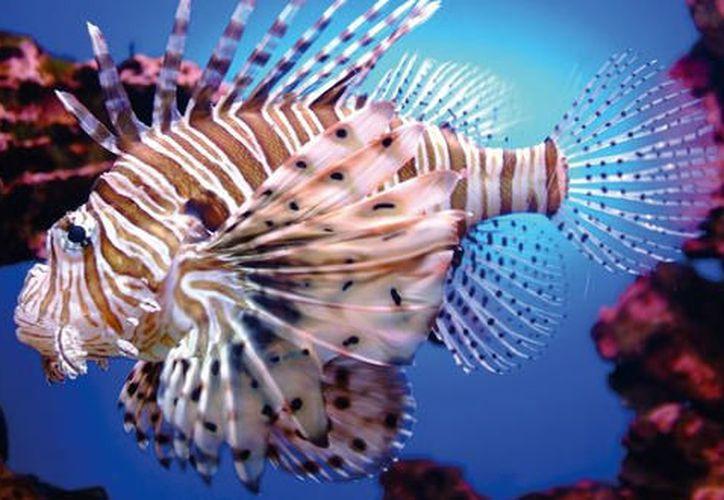 En  2009 se detectó por primera vez la presencia del pez en costas mexicanas. (Foto: Contexto/Internet)