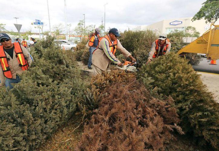Buena respuesta tuvo ayer el acopio de arbolitos navideños en diferentes centros de reciclaje de Mérida. (Milenio Novedades)