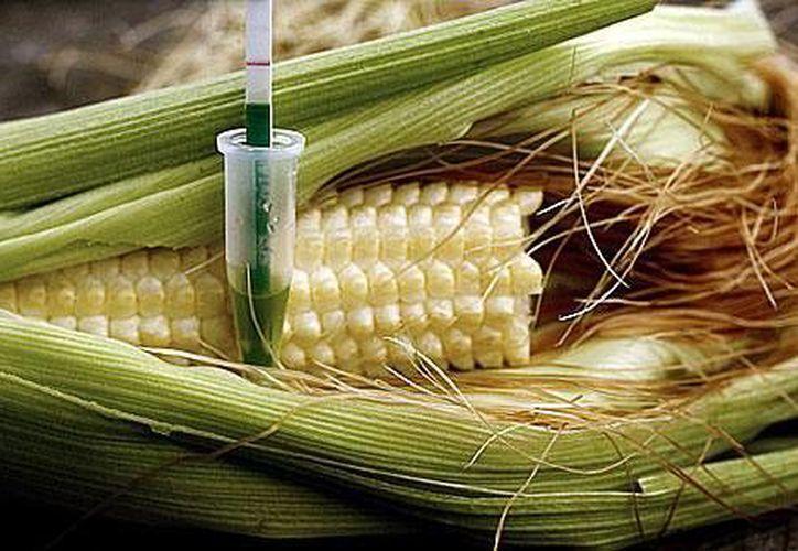 México cuenta con 200 mil hectáreas para cultivar transgénicos.  (www.productions.caffix.org/Contexto)
