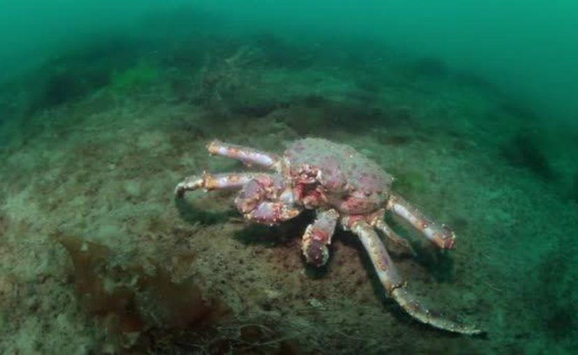 Los cangrejos rey podrían ayudar a restablecer los corales del arrecife Mesoamericano. (depositphoto)
