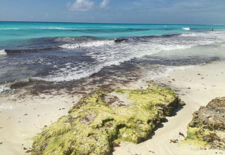 Se registra poco recale de sargazo en las playas. (Israel Leal/SIPSE)