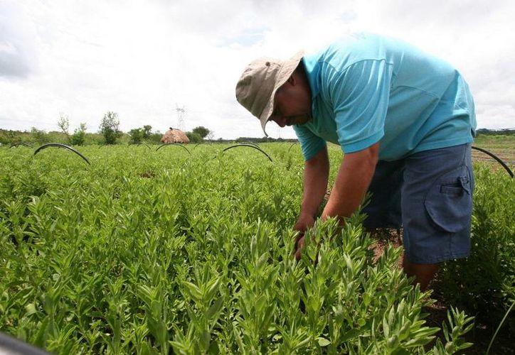 Tiene el propósito de asegurar la competencia leal y un funcionamiento apropiado del mercado interno de productos orgánicos. (Edgardo Rodríguez/SIPSE)