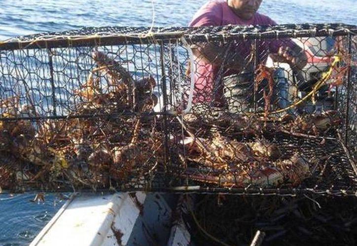 El botín del cargamento de langosta tiene el valor comercial de un millón de pesos. Imagen de contexto de un pescador de esta especie en alta mar. (Archivo/SIPSE)