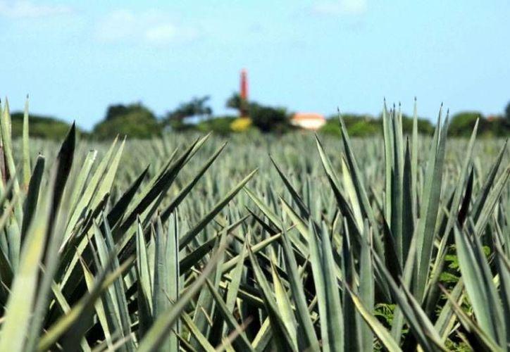 La nueva planta activará 40,000 hectáreas para la siembra de henequén. (SIPSE)