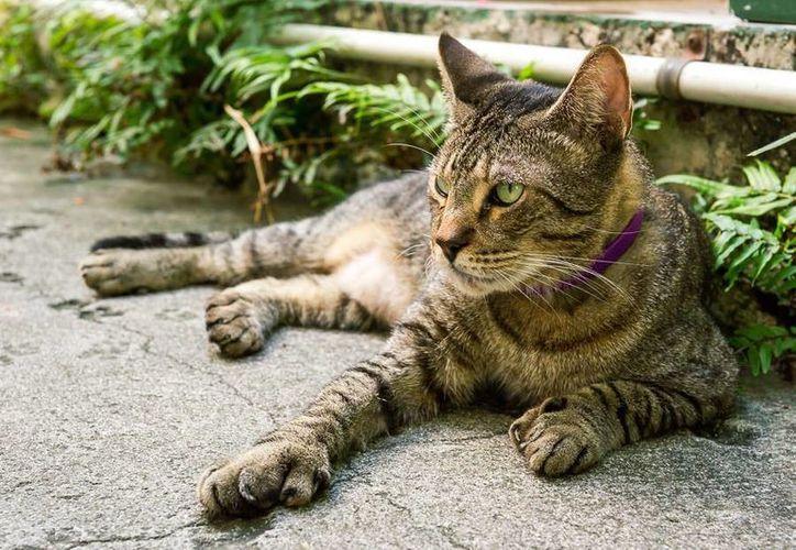 Estudios demostraron que si el parásito felino infecta a los ratones, los roedores pierden su miedo natural a los gatos. (Christian Coquet/SIPSE)