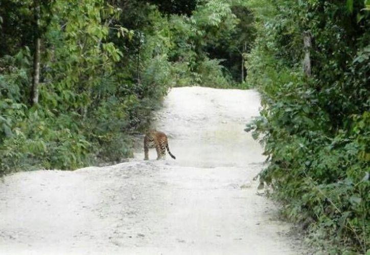 Realizarán un nuevo censo de jaguares en el Sureste. (Tomás Álvarez/SIPSE)