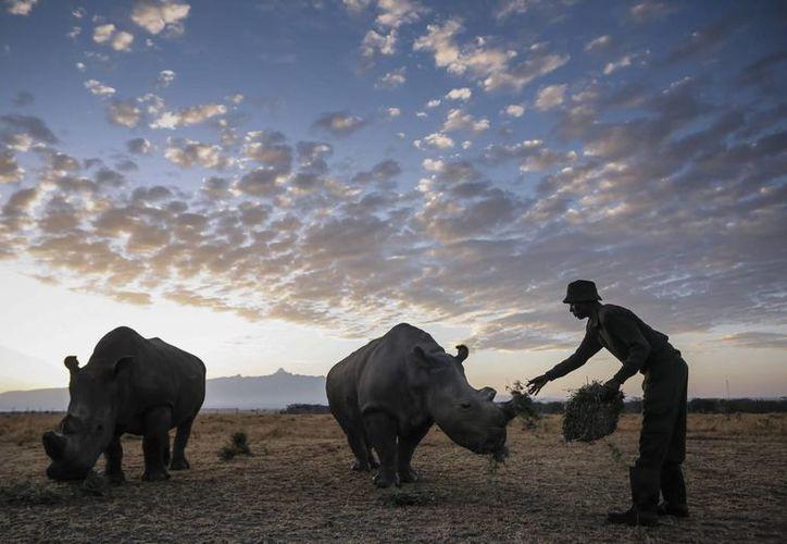 Con la muerte de Nola, quedan vivos solamentre tres ejemplares de rinocerontes blancos en el planeta. (EFE)