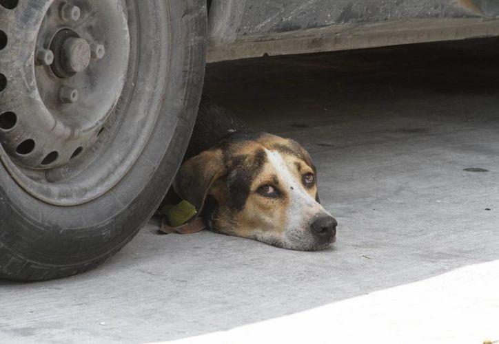 Hay quienes dejan a sus canes mucho tiempo en las calles o encerrados por largo tiempo en los domicilios. (Sergio Orozco/SIPSE)