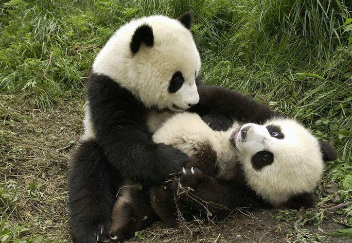 La encargada de cuidar a los panditas se ve vencida por la ternura del 'ataque'. (Foto: Contexto/Internet)