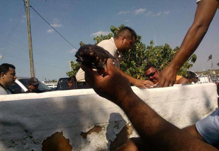 Cervera Hernández reconoció que los pescadores están desesperados porque la venta del pepino les deja elevados ingresos.  (SIPSE)