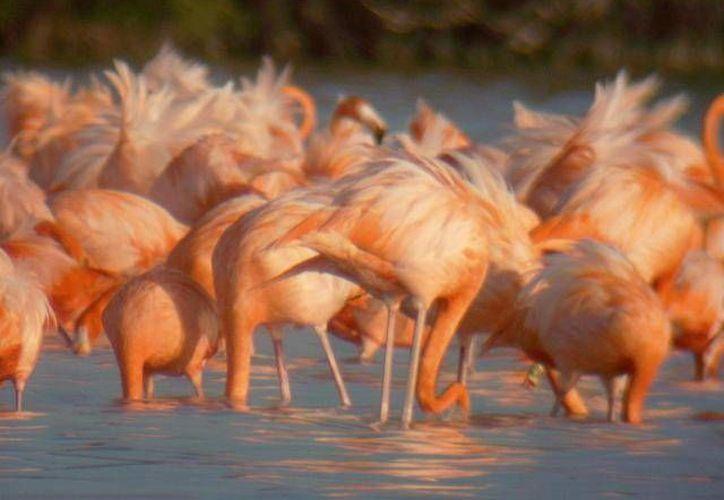 Río Lagartos es la principal colonia reproductiva del flamenco en Yucatán. (Archivo/SIPSE)