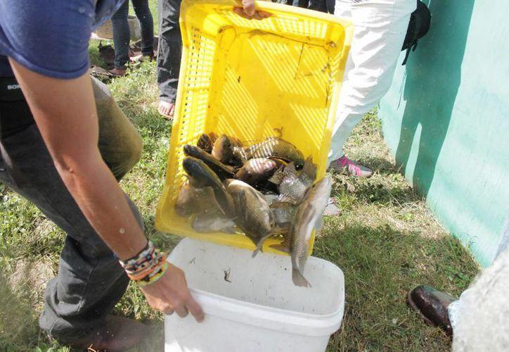 La demanda de la tilapia ha crecido, es por ello el interés en su producción. (Edgardo Rodríguez/SIPSE)