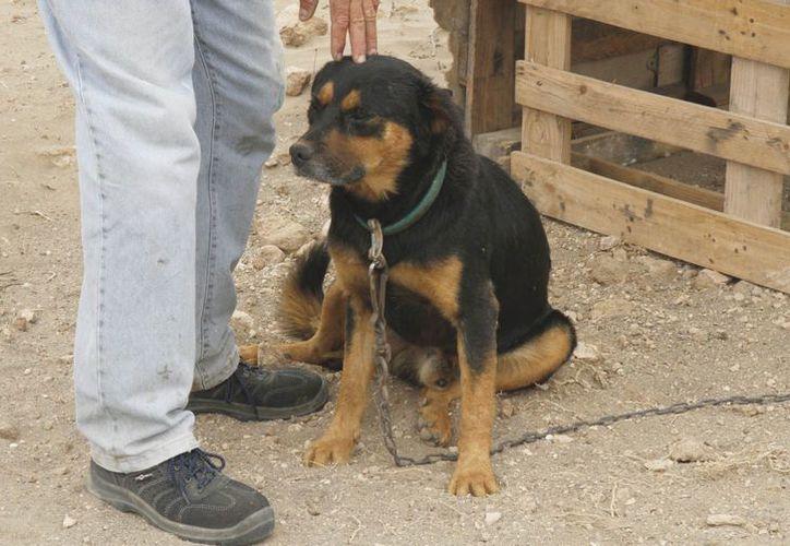Aunque individualmente parezcan inofensivos, una jauría de perros pueden matar a una persona, afirman. (Foto de contexto)