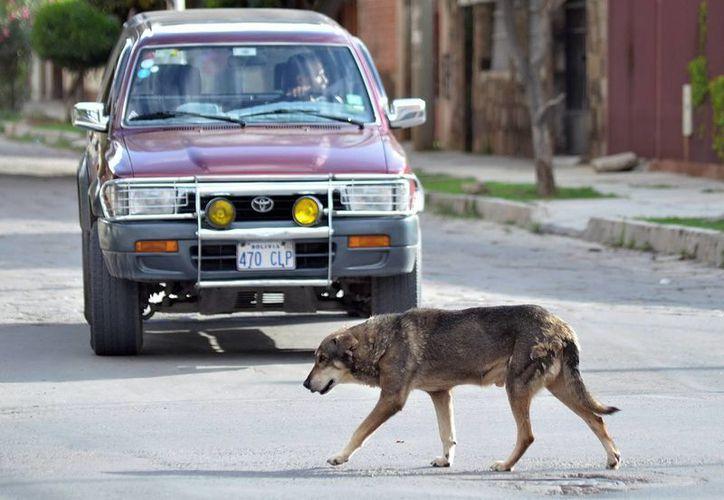"""Una imagen que muestra al perro """"Hachi"""" en Cochabamba, Bolivia, que es testigo de una verdadera lección de lealtad y perseverancia que imparte este modesto perro mestizo, que desde hace cinco años espera en la esquina de una avenida de esa urbe a su amo fallecido en un accidente de tráfico. (EFE)"""