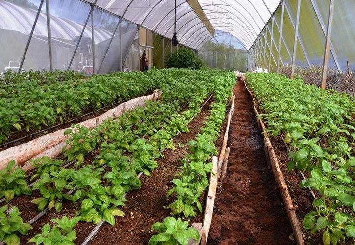 El centro de acopio y empaque de hortalizas podría estar en Felipe Carrillo Puerto. (Edgardo Rodríguez/SIPSE)