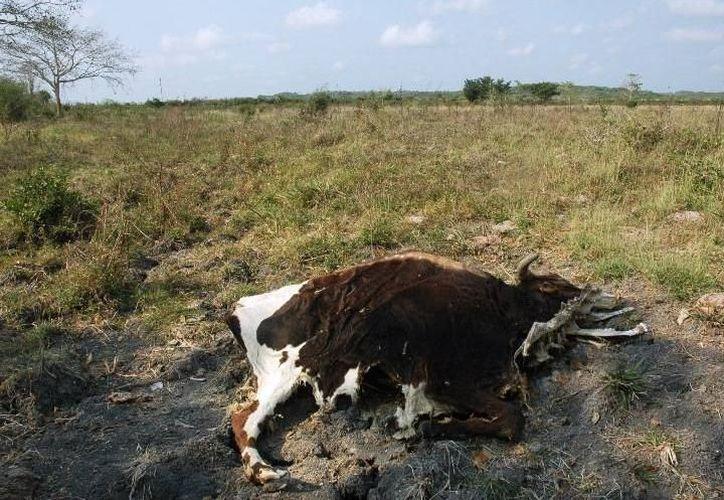 La pérdida de cabezas de ganado es una de las consecuencias de las intensas sequías en la región. (SIPSE)
