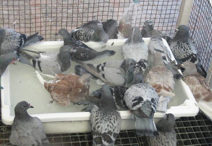 El palomo que buscan era el más valioso en un aviario de aver mensajeras. Imagen de contexto, solo para fines ilustrativos. (Foto: www.laspalomasmensajeras.com)
