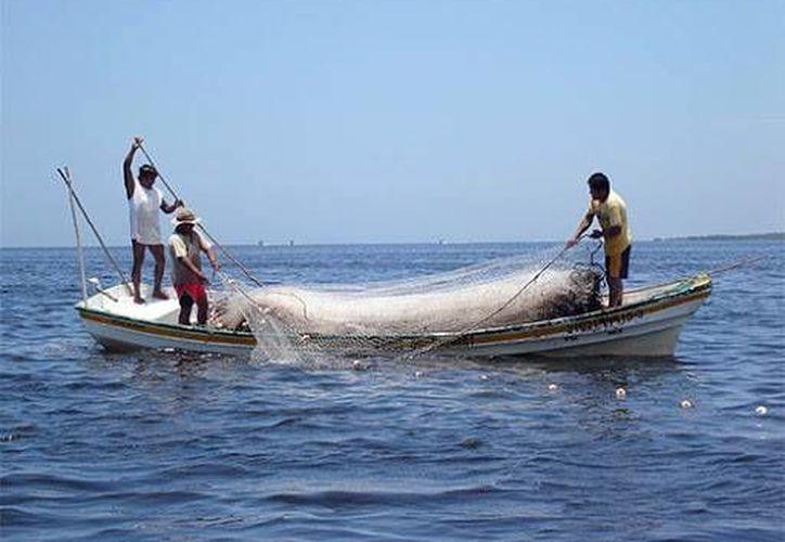 Prevén una captura de 9.5 toneladas de langosta en esta temporada. (Milenio Novedades)