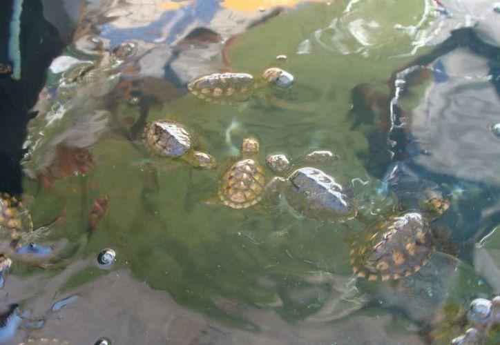 Ejemplares de tortuga son albergados en el campamento del Cetmar 17. (Manuel Pool/SIPSE)