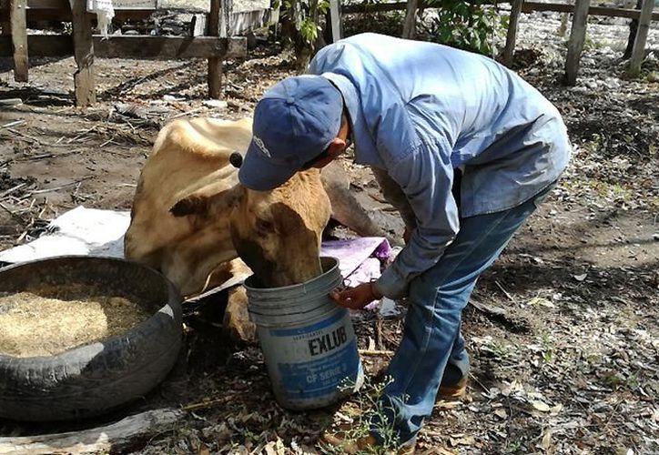 En la región hay cerca de 100 ganaderos que a principios de año solicitaron pozos estratégicos previendo la escasez de agua. (Joel Zamora/SIPSE)