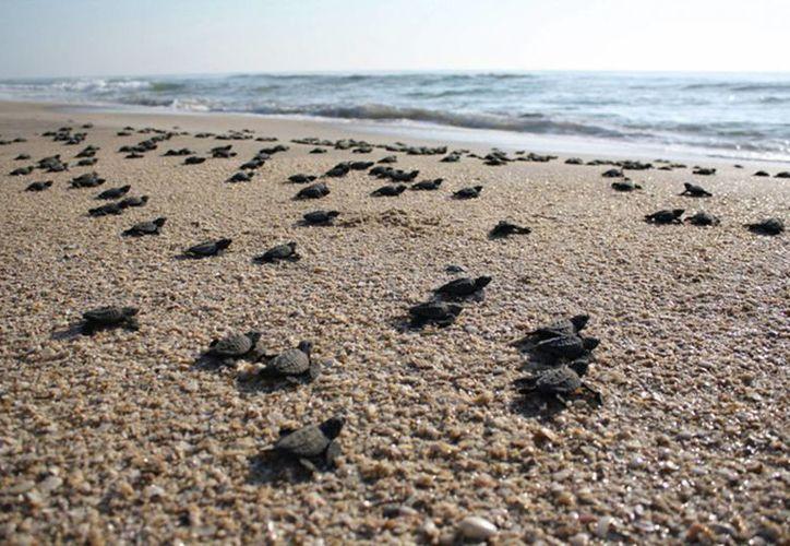 Foto de archivo fechada el 13 de diciembre de 2012, de pequeñas tortugas adentrándose al mar, en las playas de Baja California, México. (EFE/archivo)