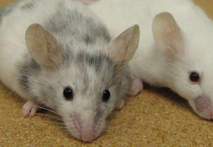 En la Unidad de Experimentación Animal de la Uady se trabaja sobre todo con ratones. (teinteresa.es)