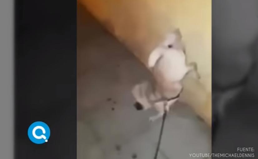 En el video se ve como el pequeño pug comienza a levantar las dos patas mientras orina. (Captura YouTube).