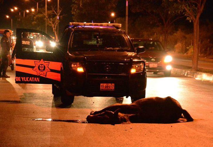 El equino quedó tendido en la calle. Su dueño no llegó al lugar del accidente, por lo que el cuerpo fue retirado por personal del Ayuntamiento. (Carlos Navarrete/ SIPSE)