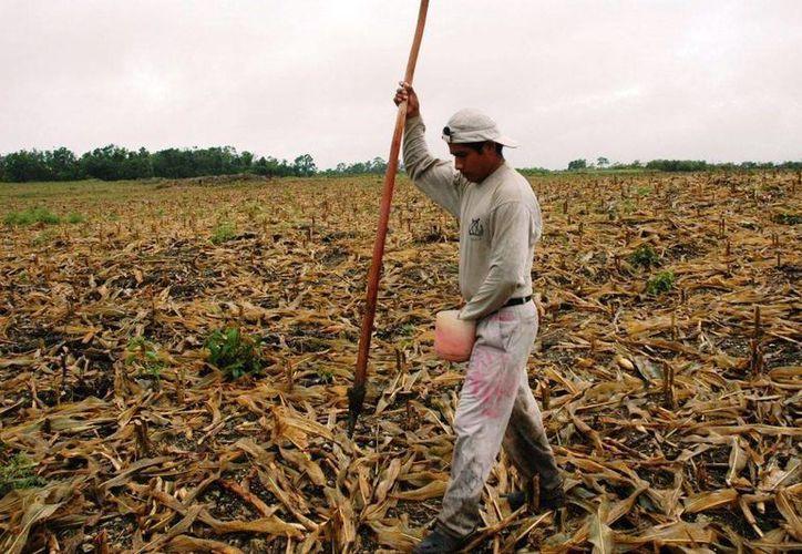 El cultivo de maíz, el cual se encuentra deteriorado por las precipitaciones pluviales, recibirá apoyo por parte de la Sagarpa. (Edgardo Rodríguez/SIPSE)
