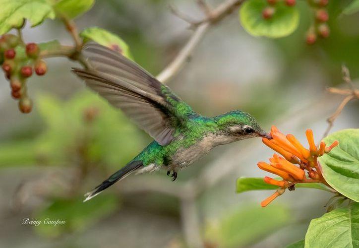 De febrero a mayo es la temporada de reproducción de dichas aves, es por eso que el biólogo Rafael Chacón fábrica nidos para que los colibrís puedan depositar sus huevos. (Cortesía)