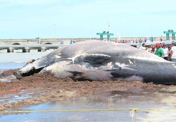 La aparición del enorme cetáceno no tardó en captar la atención de cientos de curiosos que paseaban en el puerto de Progreso. (SIPSE)