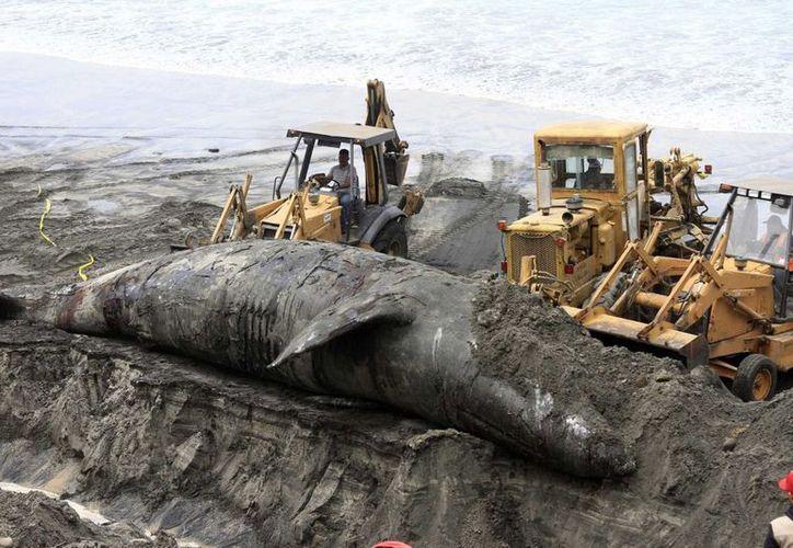 El fósil del cetáceo forma parte de la colección paleontológica del Museo Regional de Antropología e Historia. (Contexto)