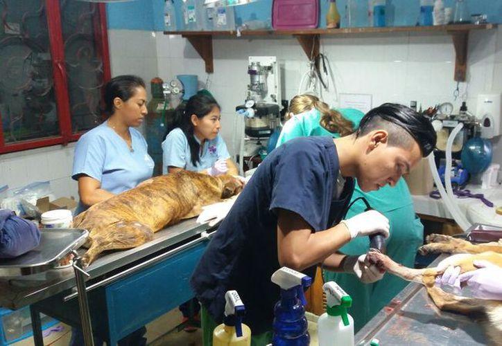 Woody es reportado en estado delicado por los médicos veterinarios de la Sociedad Humanitaria de Cozumel. (Gustavo Villegas/SIPSE).