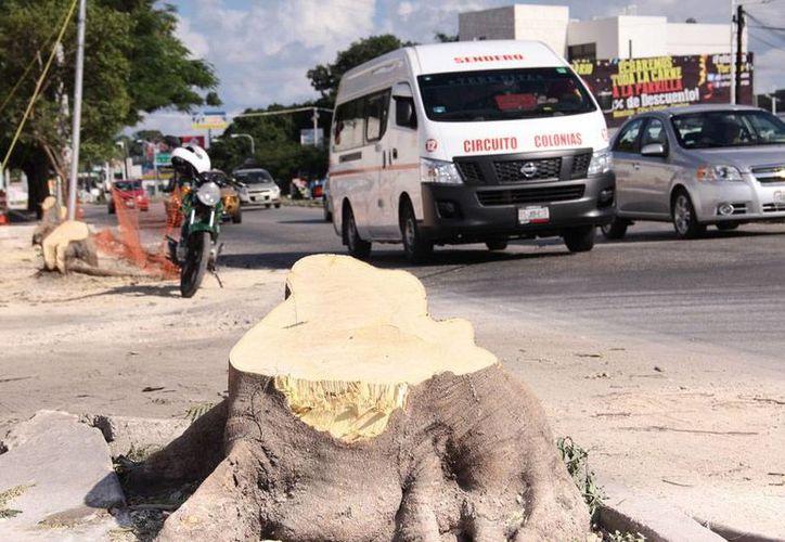 Ayuntamiento de Mérida autorizó a la empresa que construye un supermercado en Circuito Colonias cortar siete árboles para abrir un carril de baja velocidad. (Jorge Acosta/SIPSE)
