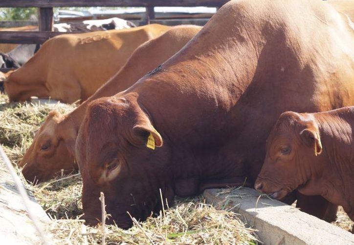 Las autoridades contemplan tres millones 025 mil pesos para insumos de alimentación animal. (Javier Ortiz/SIPSE)