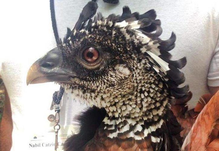 La dieta de esta ave consiste principalmente en frutos, semillas y artrópodos. (Rafael Chacón Díaz/Facebook)