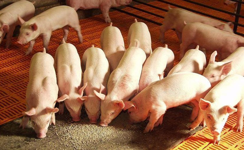 Francia no puede permitir que el virus porcino llegue a su país porque tendría consecuencias desastrosas en granjas. (razasporcinas.com)
