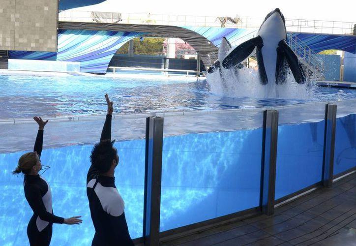 SeaWorld eliminará los espectáculos con orcas e introducirá 'nuevos e inspiradores encuentros naturales' con los animales. (Agencias)